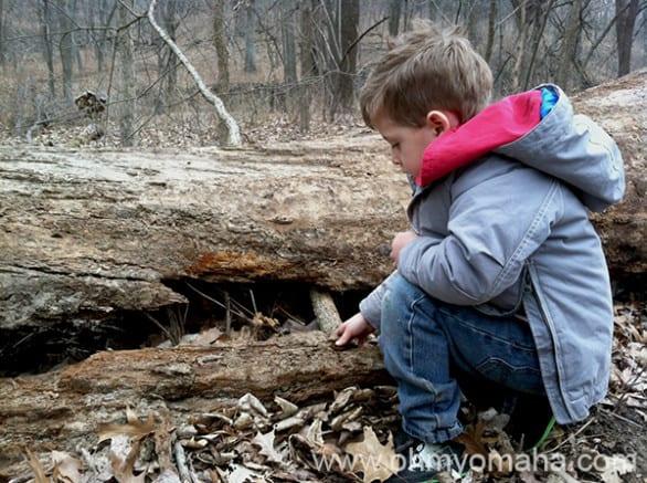 Farley poking around a fallen tree trunk.