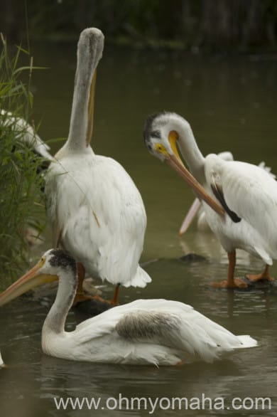 American White Pelicans hanging out in the 10-acre Wetlands.