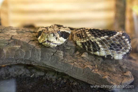 One of the dozens of snakes at Reptile Gardens.