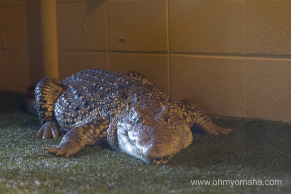 One of the dozens of resident alligators at Reptile Gardens. This guy is rather famous - he was in a James Bond movie.