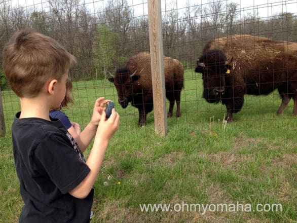 Bison at Shoal Creek Living History Museum in Kansas City.