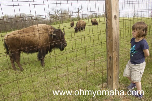 American Bison once freely roamed the very plains Shoal Creek Living History Museum is located on. Now, they're safely kept in a huge enclosure at the park.